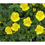 ROCK ROSE gocce orali 10 ml | LOACKER - Fiori di Bach